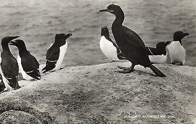 Vintage R.p.postcard.guillemot.razorbills And Shag.scilly Isles.