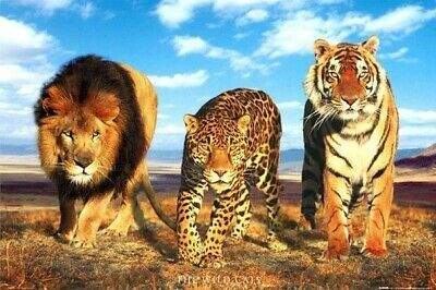 WILD CATS ~ TRIO 24x36 ANIMAL POSTER Lion Leopard Tiger Cat NEW/ROLLED!