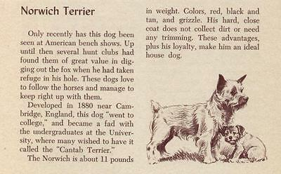 Norwich Terrier - Vintage Dog Art Print -1954 M. Dennis