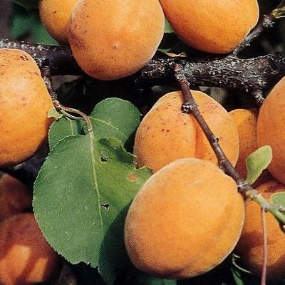 Dwarf Patio Apricot Tree in 5L Pot, Miniature Self-Fertile & Heavy Cropping