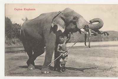 Ceylon, Elephants Postcard, B239