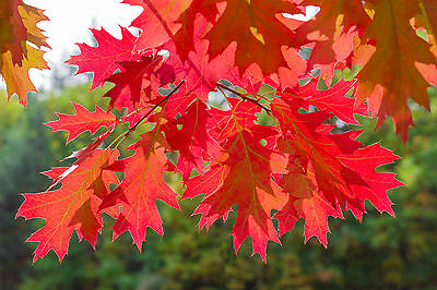 10  Red Oak Trees 1-2ft Tall Quercus Rubra Hedging Plants, Bright Autumn Colours