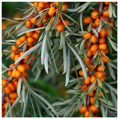3 Sea Buckthorn Plants 1-2ft Edible Coastal Hedging,Hippophae Rhamnoides 40-60cm