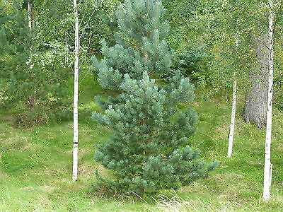 100 Scots Pine Trees 1-2ft Tall,Native Evergreen,Pinus Sylvestris 3yr old plants