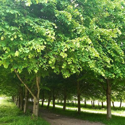 3 Small-leaved Lime / Tilia Cordata, 2-3ft Tall  With a Rich Scent