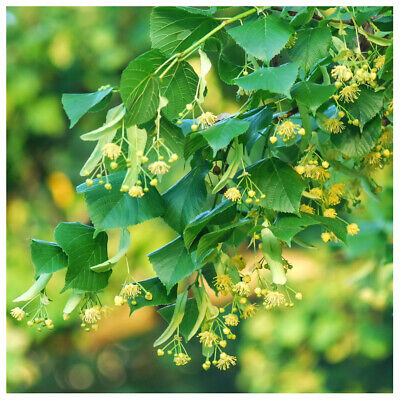 1 Small-leaved Lime / Tilia Cordata, 2-3ft Tall  With a Rich Scent
