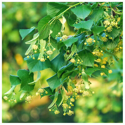 20 Small-leaved Lime / Tilia Cordata, 2-3ft Tall  With a Rich Scent