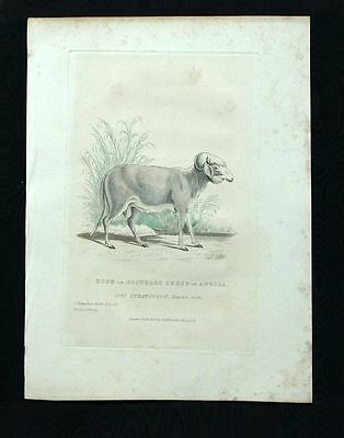 THE SHEEP AFRICAN engraving print antique watercolour Cuvier 1829