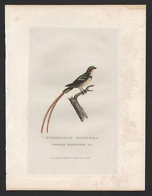 THE FRINGILLA SUPERCILIOSA engraving print antique watercolor from Cuvier 1829