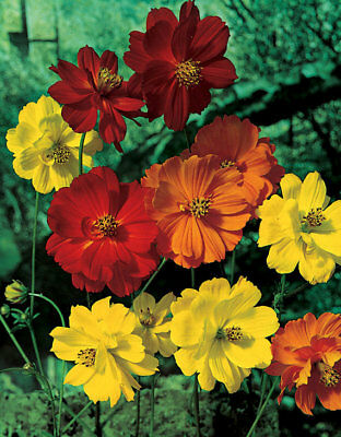 Cosmos - Sulphureus Sunny Mixture - 1 Gram ~ Approx 140 Flower Seeds