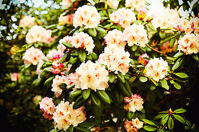 Rhododendron /  Horizon Monarch,  30-40cm Tall In 5L Pot, Stunning Flowers