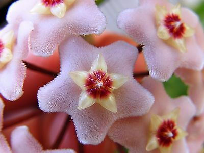 Hoya Carnosa Waxflower Superb Indoor Fragrant Flowering Climber Easy Root Clone