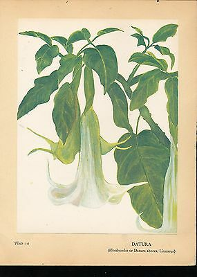 1938 Datura, by Gale McLEAN Print from Flowers of Hawaii