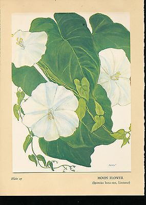 1938 Moon Flower by Gale McLEAN Print from Flowers of Hawaii