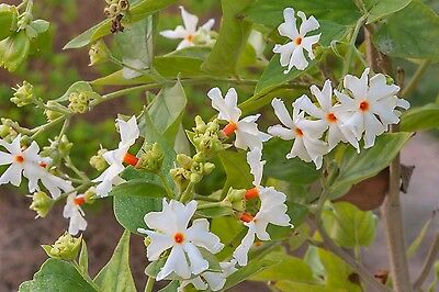 NIGHT-FLOWERING JASMINE (Nyctanthes arbor-tristis) 10 seeds