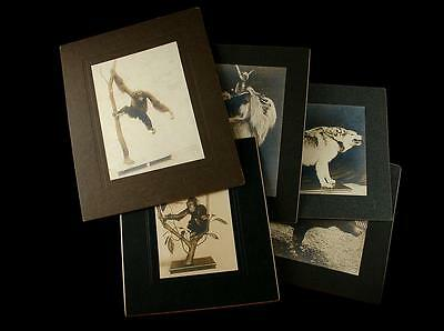 5 Taxidermy Photographs Work Of Remi Santens Famous Taxidermist 1902-1904