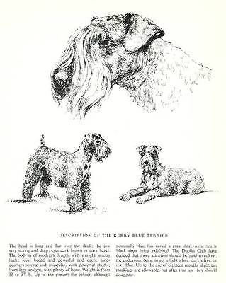 Kerry Blue Terrier Sketch - 1963 Vintage Dog Print - Matted