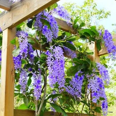 Petrea~## PURPLE PASSION~FAKE WISTERIA~FOOT LONG FLOWERS~##~WOW!!!~1 PLANT