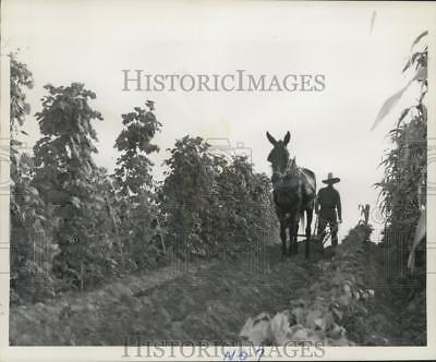 1948 Press Photo Lafourche Farmers, many of French-Acadian descent work Farmland