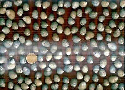135 Sea worn & nibbled Scottish Common Periwnkle sea shells,240g-ideal 4 crafts