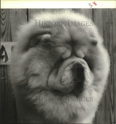 1985 Press Photo Kaule's Royal Flash The Chow Chow and Dog Show. - hcx02468
