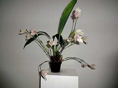 Angulocaste Olympus Libertys Spring Bloomer NEW Orchidee Orchideen