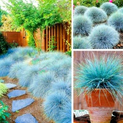 300Pcs/Pack Seed Blue Fescue Beautiful And Freshing Plant Home Decoration Seed