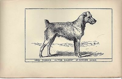 1900 UK Original Dog Art Pen & Ink Print RH Moore Champ Ted Malone IRISH TERRIER