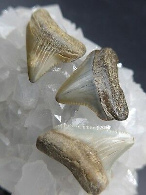 Wow…it'S 3 Megalodons /fossil Miocene Era Shark Teeth (Carcharocles Megalodon)
