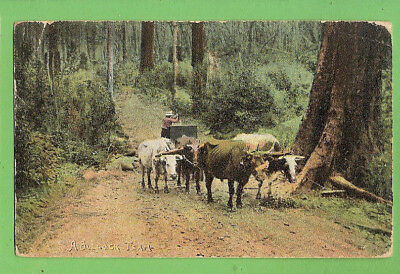 #g. Australiana Postcard - Bullock  Team, 1908