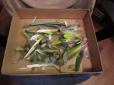 Group of approx. 60 Buffon Macaw/Amazon Parrot/Cockatiel molted feathers.