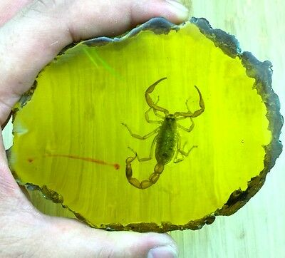 135g Beautiful amber scorpion fossil insects manual polishing
