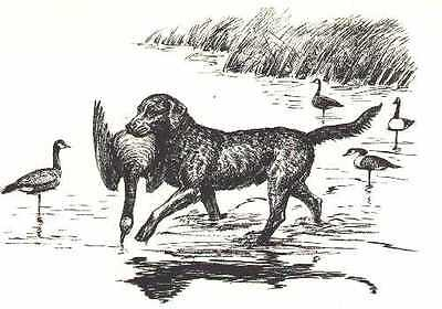 CHESAPEAKE BAY RETRIEVER - 1964 Dog Art Print - MATTED