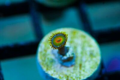 WYSIWYG CR Rasta Zoa live corals reef tank acans chalices LPS SPS frag F34