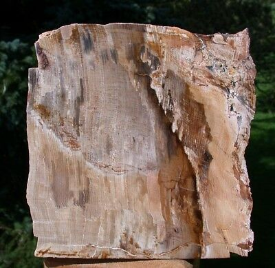 SiS: MAGNIFICENT 3+ lb. Oregon Petrified Wood Specimen - GIANT SEQUOIA GEM WOOD!