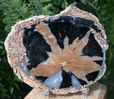 SiS: GLORIOUS & PERFECT Blue Forest Petrified Wood Round!