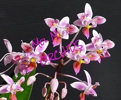 phalaenopsis chienlung jewel queen x ld bellina eagle. Black Bedroom Furniture Sets. Home Design Ideas