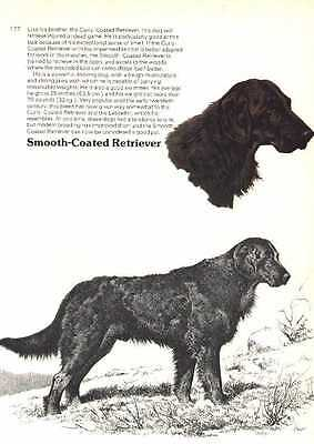Flat Coated Retriever Dog Print - 1976 Cozzaglio