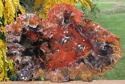 "SiS: MESMERIZING GALACTIC 17""+ Arizona RAINBOW Petrified Wood Conifer Round!"