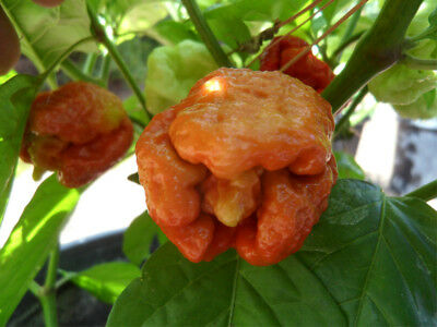 Vegetable Hot Chilli Pepper Trinidad Moruga Scorpion Caramell 10 Seeds