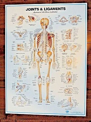 VTG New Joints & Ligaments Anatomical Art Series Orthoflex 1996 Poster Skeleton