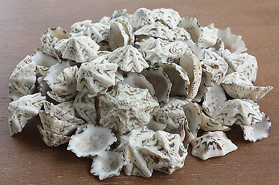 100 STAR LIMPET Seashells Sea Shells Craft Beach