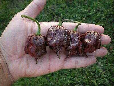 (20) CHOCOLATE CAROLINA REAPER Pepper Seeds   ****Chocolate Reaper****