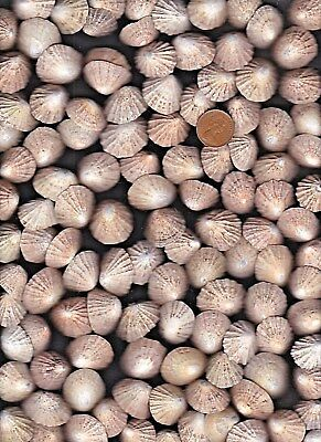 135 Scottish Limpet sea shells,445g Seaside.beach & nautical decor, crafts,arts