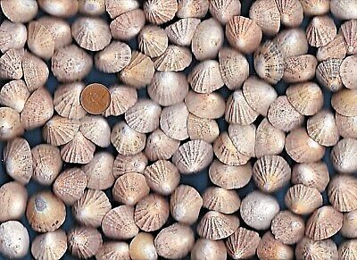100 SEA WORN & NIBBLED Scottish Limpet sea shells,540g.beach decor,craft,art