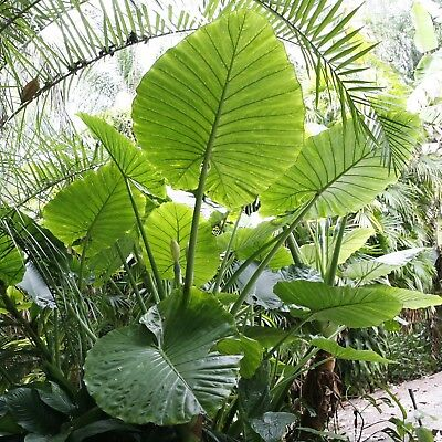 Alocasia Macrorrhiza~## GIANT ELEPHANT EAR ##~Indoor to Full Sun~2 plants