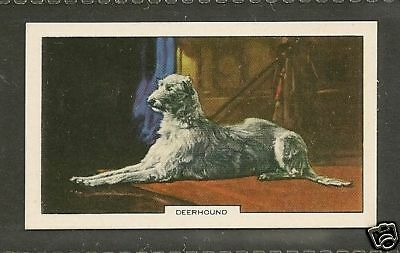 1938 UK Dog Art Full Body Study Gallaher Cigarette Card SCOTTISH DEERHOUND