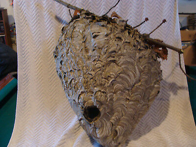 Bald Face White Hornet Huge Nest Bee Hive For Science Taxidermy