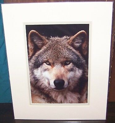 WOLF Large Color Photo 14x11 Wolfs Head Wolfman Alpha Male Wolves Pic Stamates