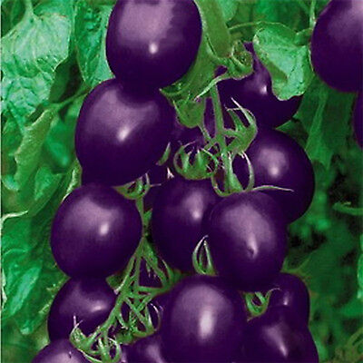 20X Seeds Purple Cherry Tomato Garden Organic Heirloom Fruit Vegetable Plant CH